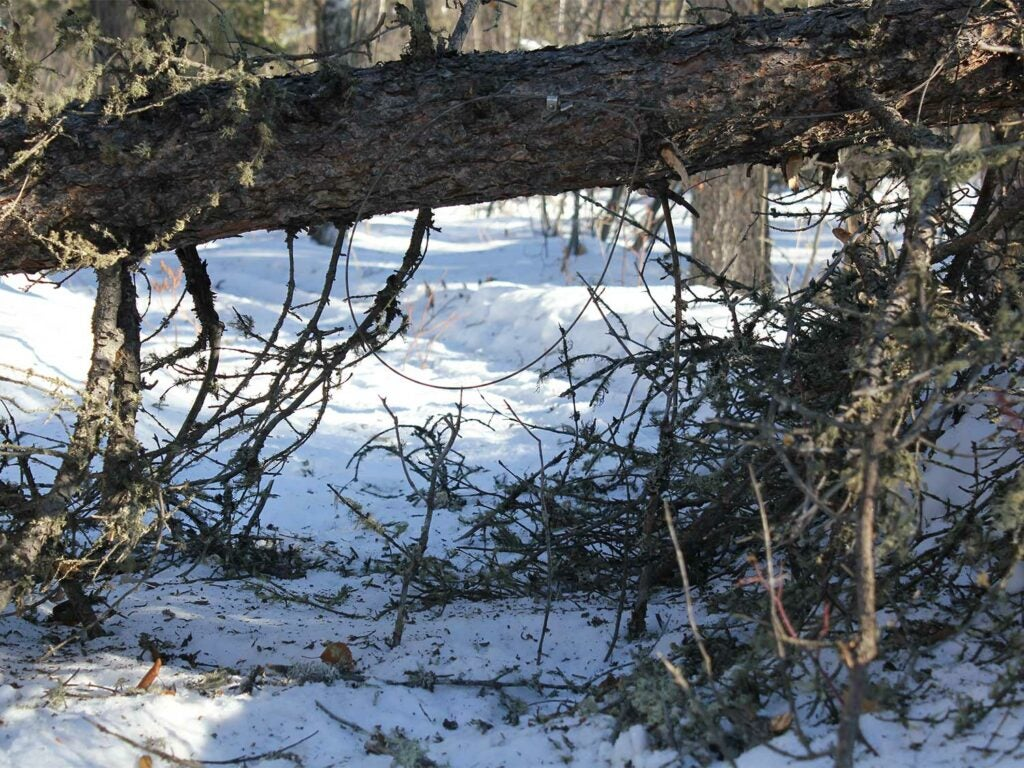 A tree fallen across a trail provides a perfect snare set