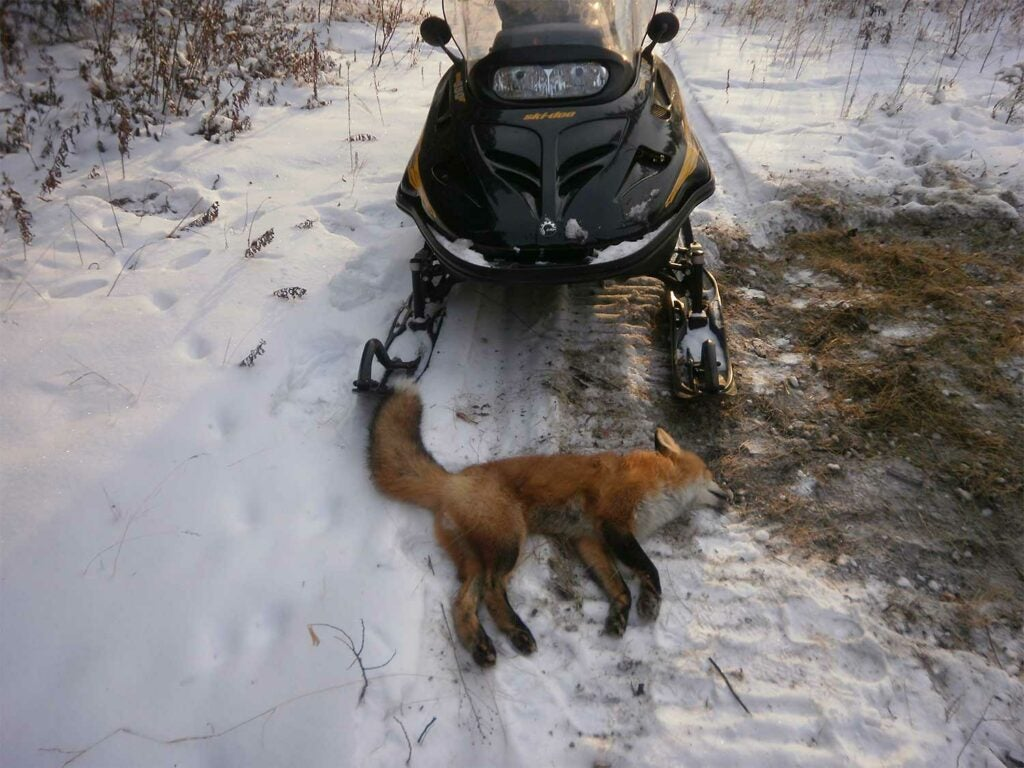 A fox on the ground in front of a snowmobile.