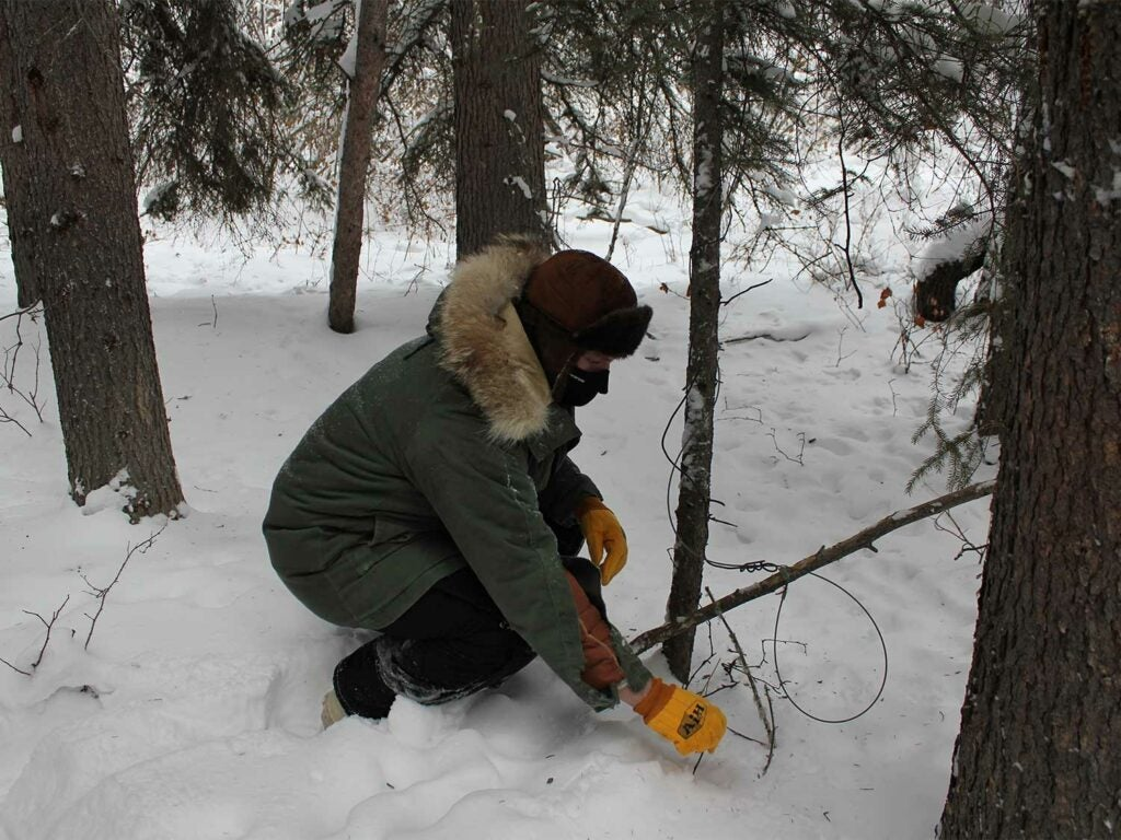 Author sets a snare to catch a wolverine that had been circling behind lynx sets.
