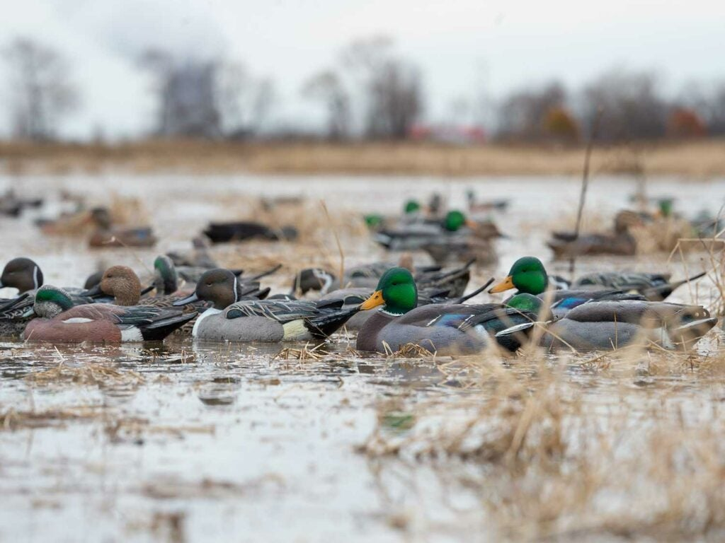 A duck decoy spread set up in shallow-water marshes.