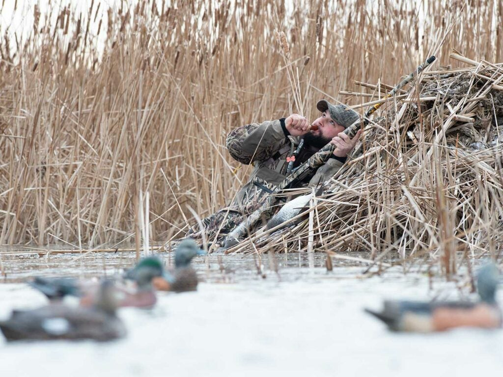 A hunter calling in a flock of ducks in a shallow marsh next to a decoy spread.