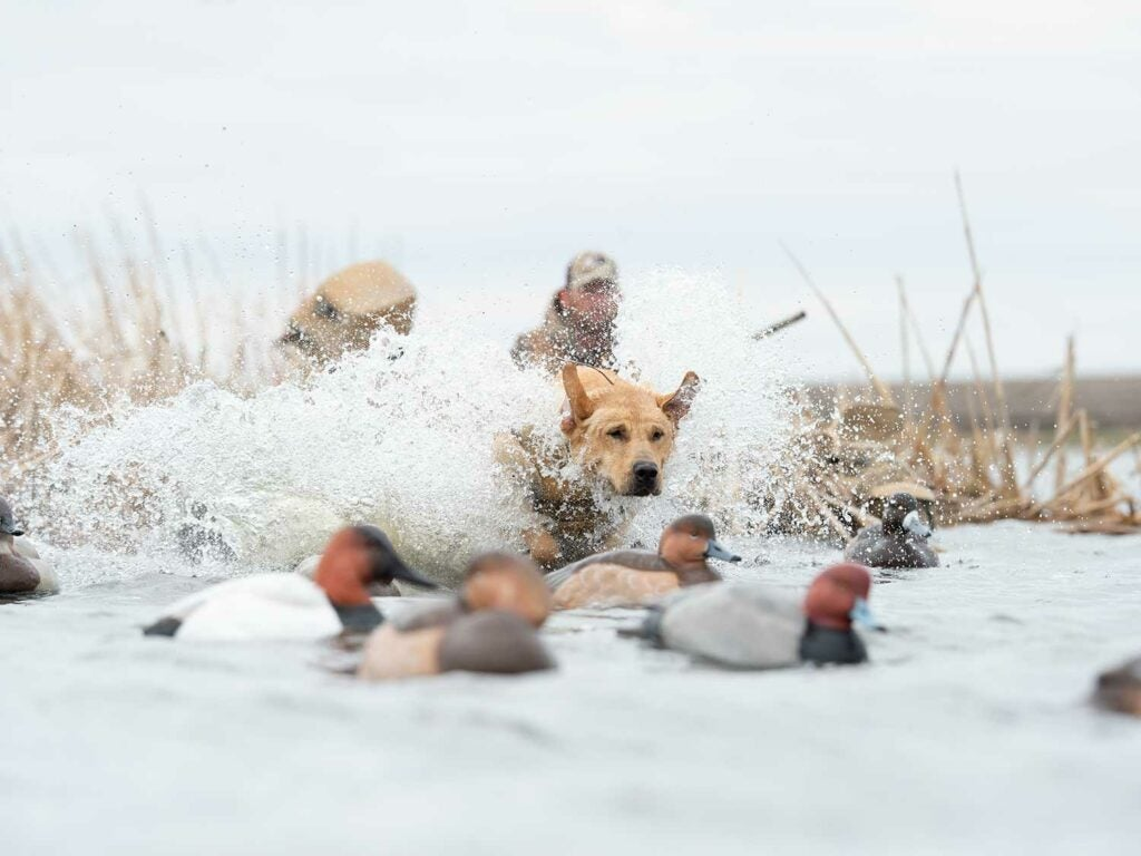 A waterfowl hunting dog retrieving a duck.