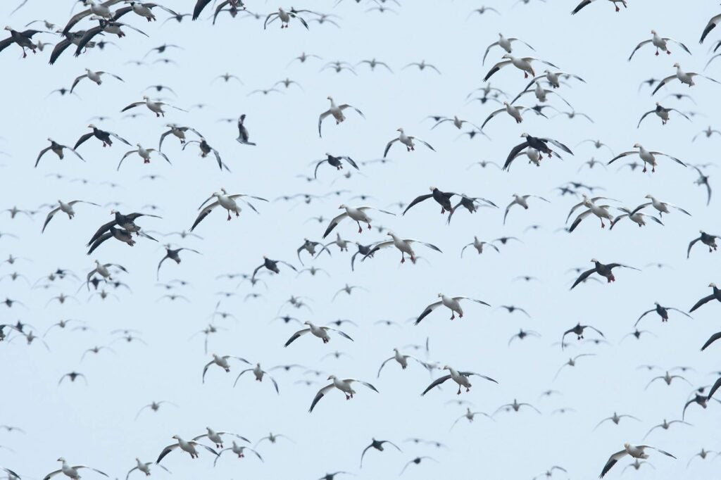 Geese in reverse migration.