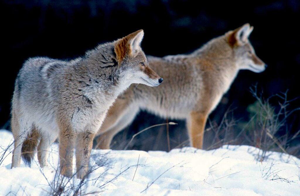 two coyotes standing in the snow.