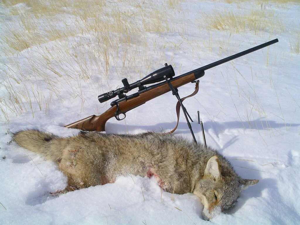 coyote in the snow next to a rifle.