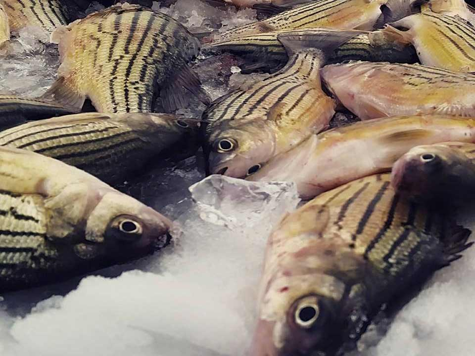a batch of yellow bass on ice.
