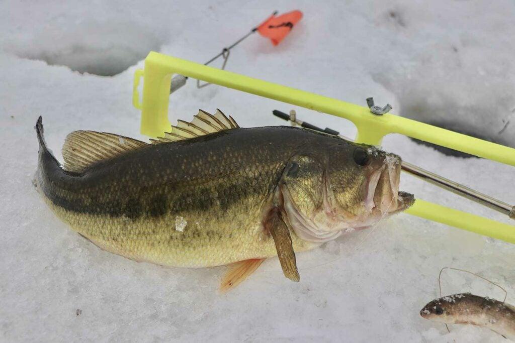 A Largemouth bass caught on tip ups