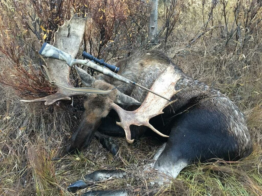 a bull caribou with a rifle in its antlers.