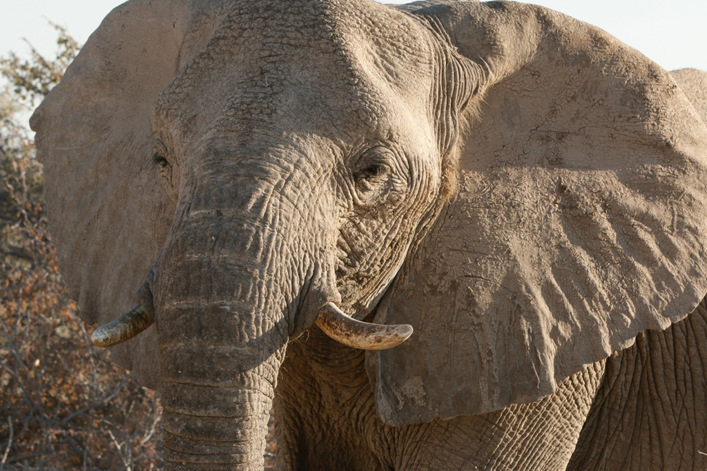 An African elephant from the Native Conservancy.