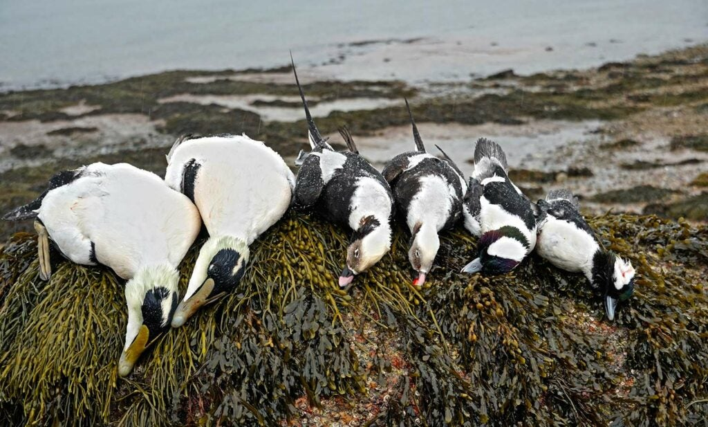 a limit of eiders or longtail ducks