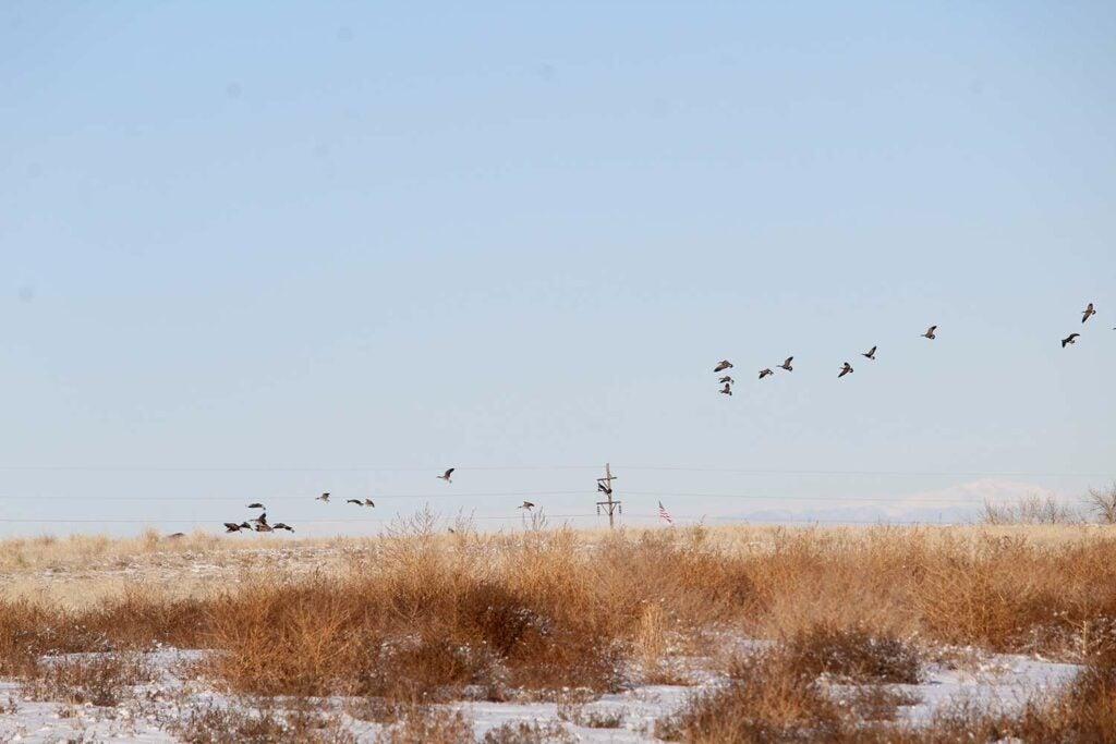 geese taking a flight in a field.