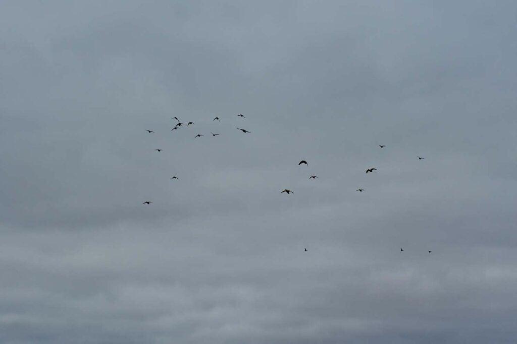 a flock of ducks flying in an overcast sky.