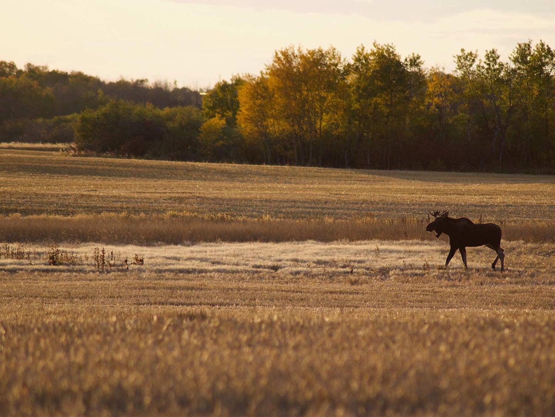 a young bull moose walking through an open field.