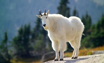 Why Weren't License-Buying Hunters Allowed to Cull Invasive Mountain Goats from Grand Teton National Park?