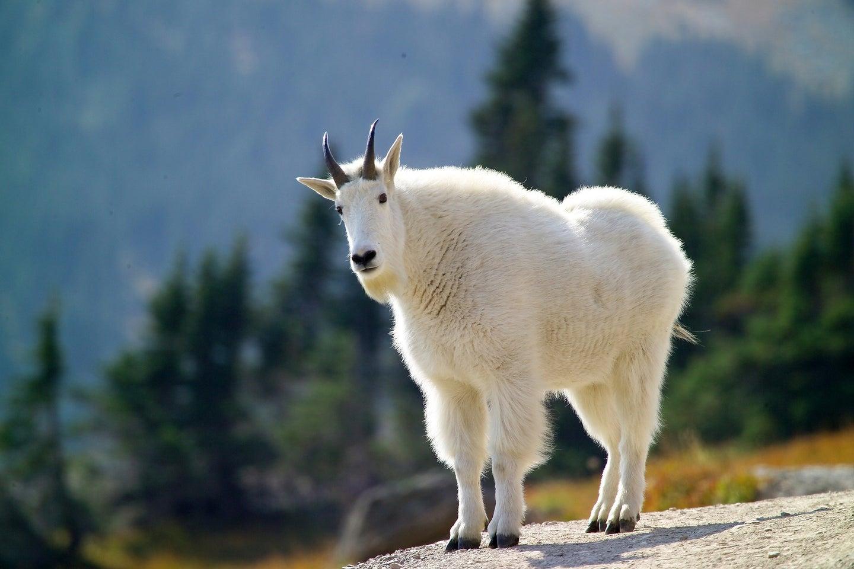 Grand Teton Mountain Goat