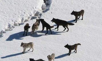 Colorado Braces for Wolves as Politics Clash with Wildlife Management