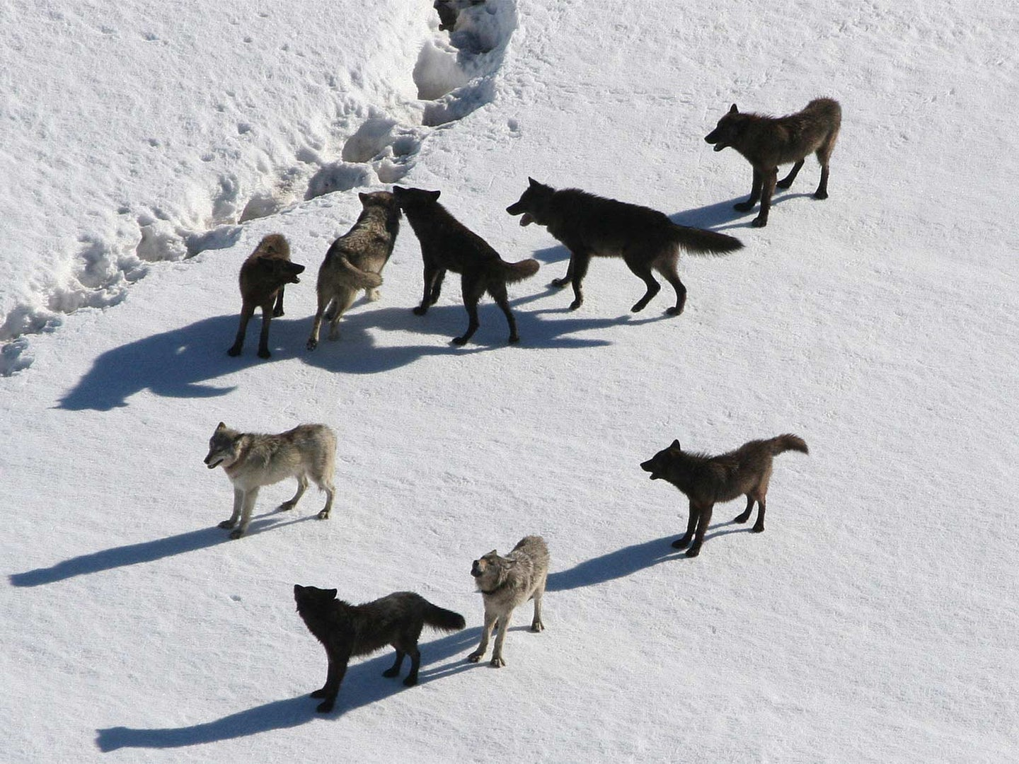 Wolves in the snow at Yellowstone Park