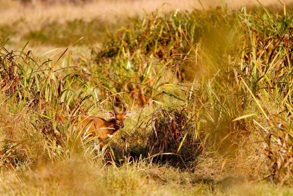 An antelope grazing through tall grass in Africa.