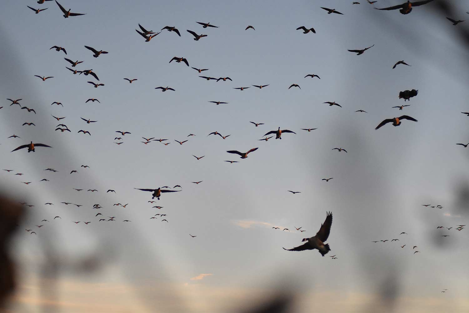 A flock of geese flying in the air