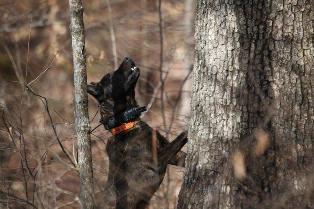 Dog treeing a squirrel.