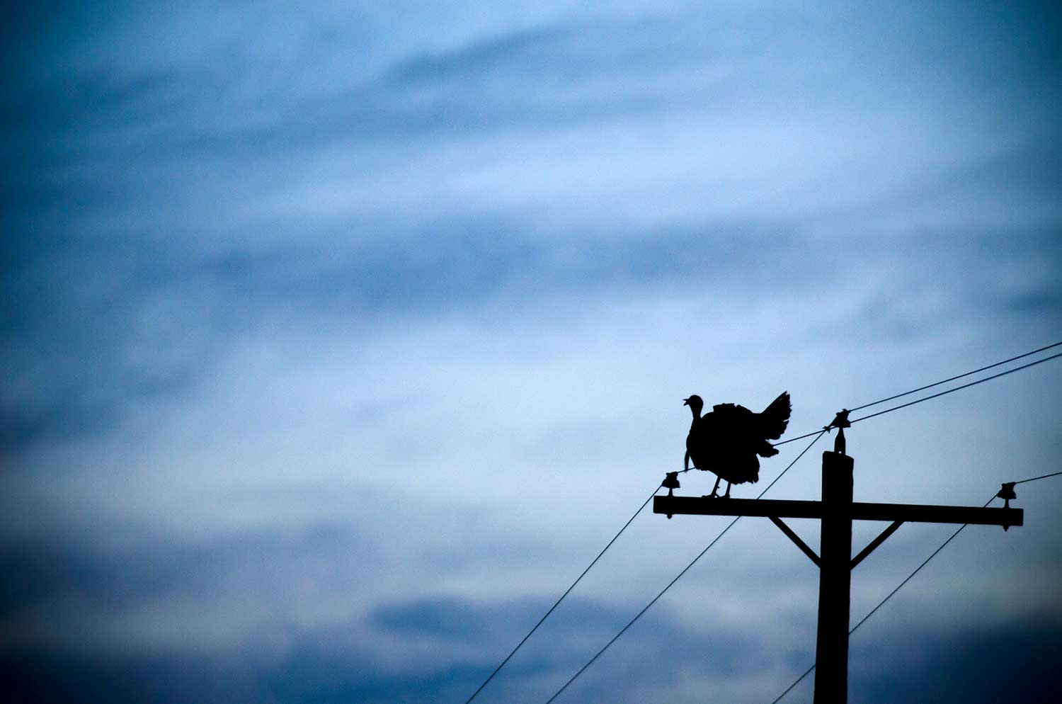 A wild turkey perched on a power line.