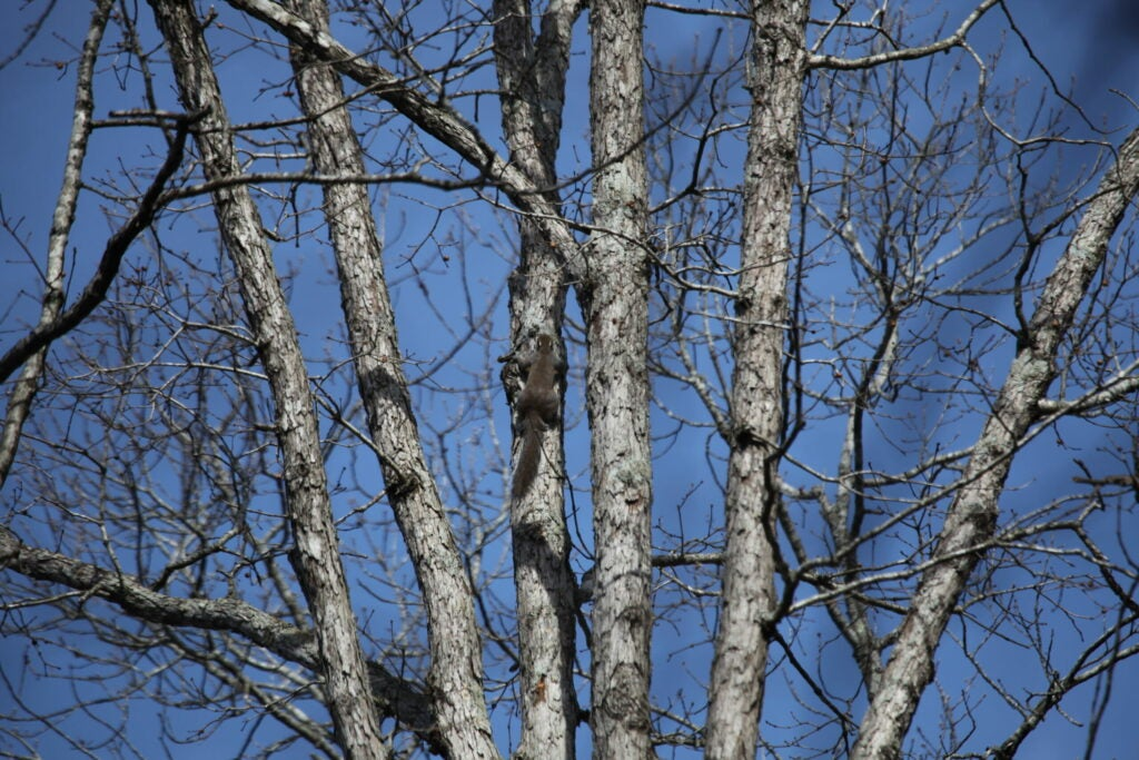 Squirrel in a tree with no leaves.