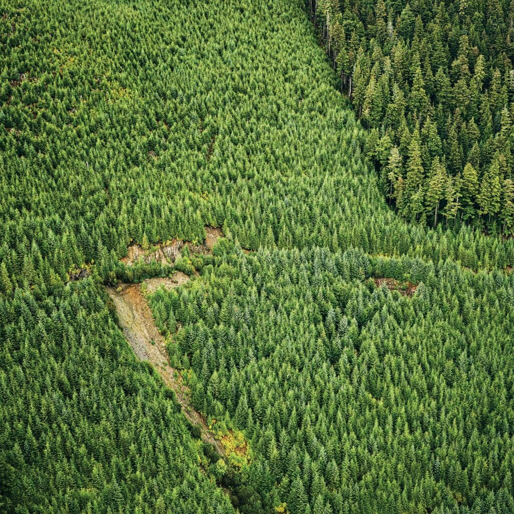 A stand of coniferous forest growth in Tongass National Forest.