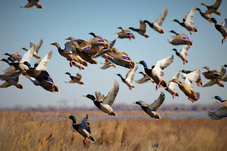 A flock of ducks taking flight.
