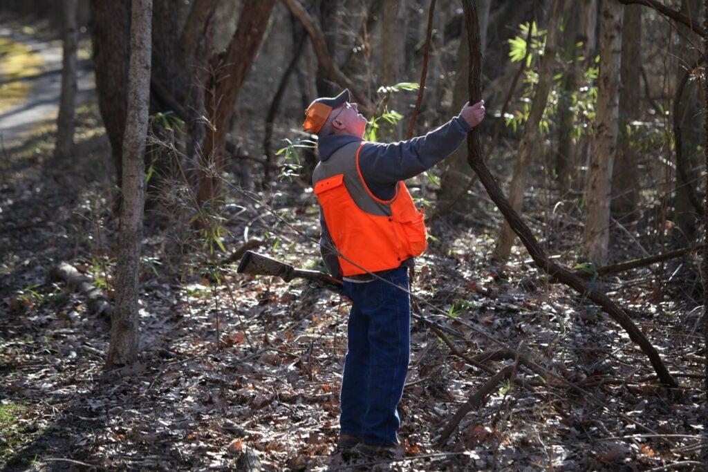 Hunter shaking vine.