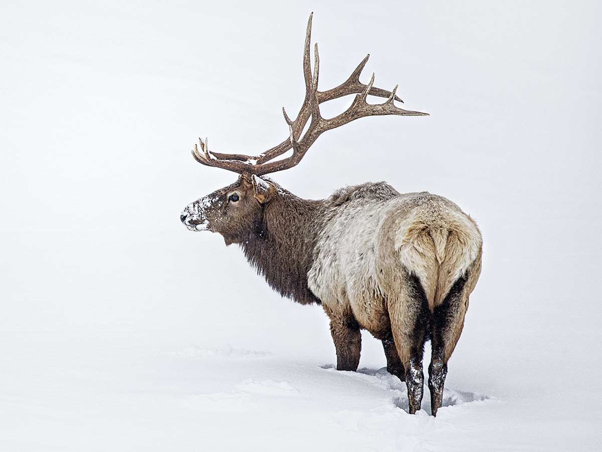 An elk standing in the snow.