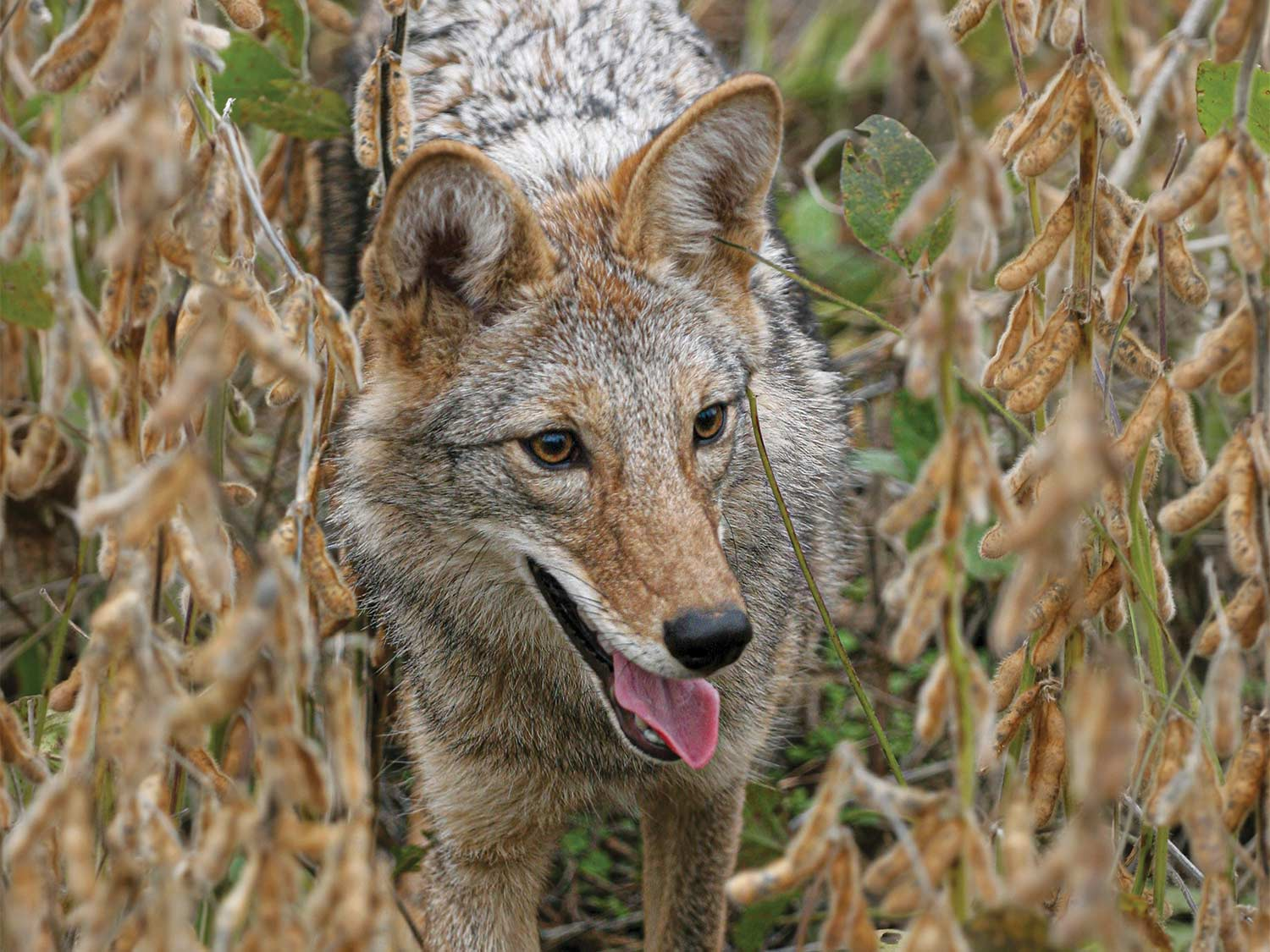 An Ohio coyote slides through standing soybeans.