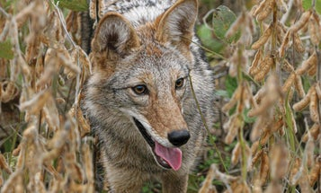 Q&A With an Expert Farm-Country Coyote Hunter