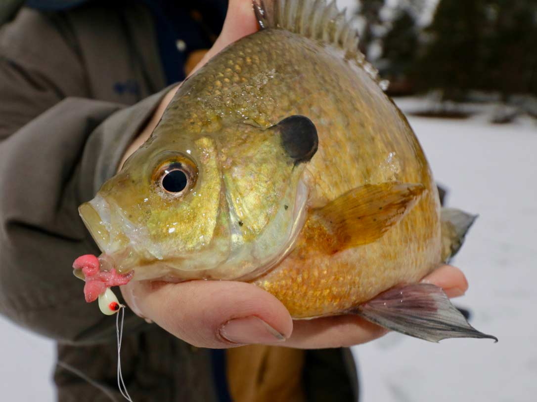 Angler holding a bluegill caught while icefishing