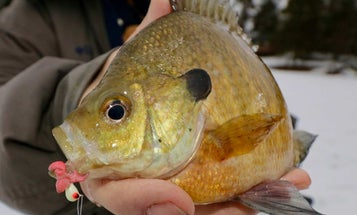 5 Bluegill Facts That Will Help You Catch More Fish