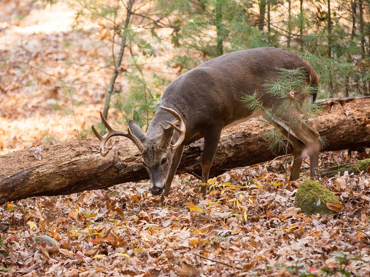Large whitetailed deer buck grazing in the woods in Tennessee