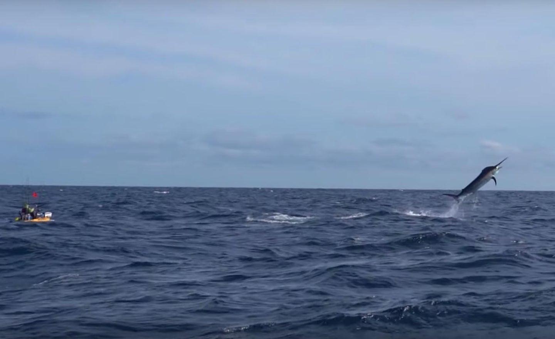 Adam Fisk battles an estimated 500-pound marlin in Panama.
