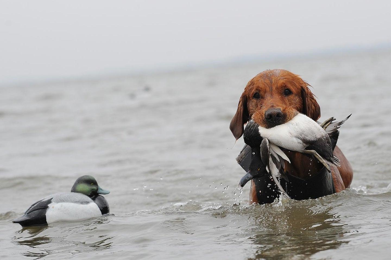 Golden Retriever retrieving bird from water.