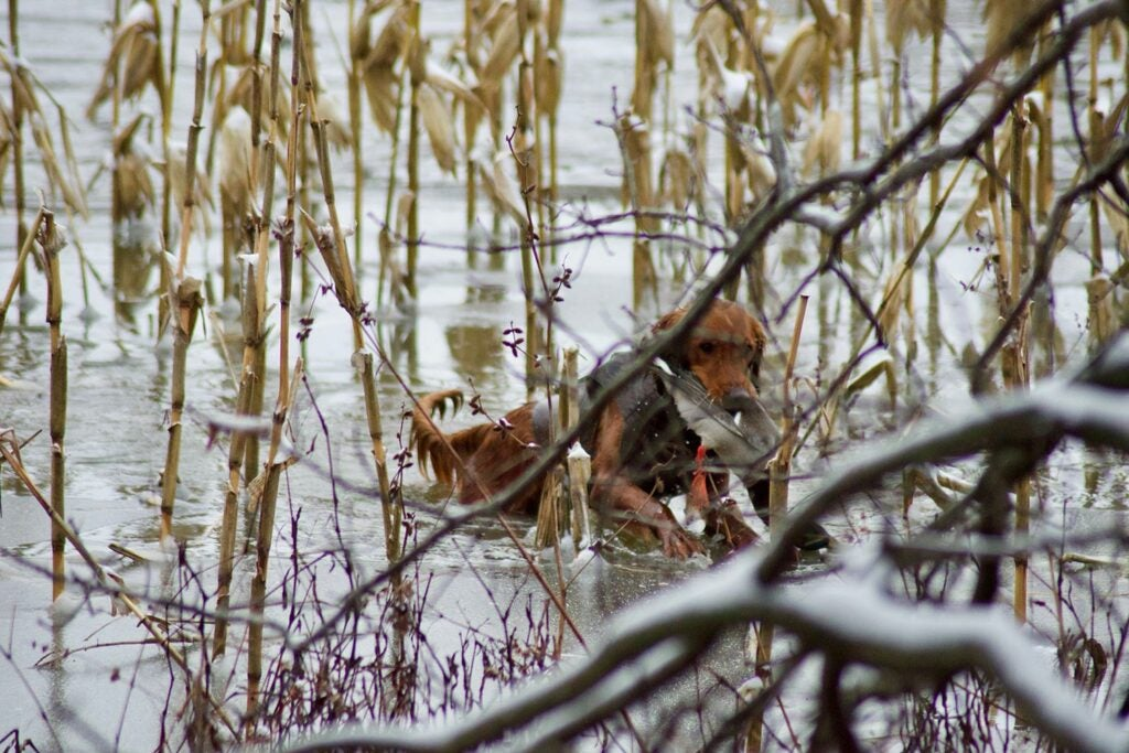 A Golden retriever carrying a duck from a pond.