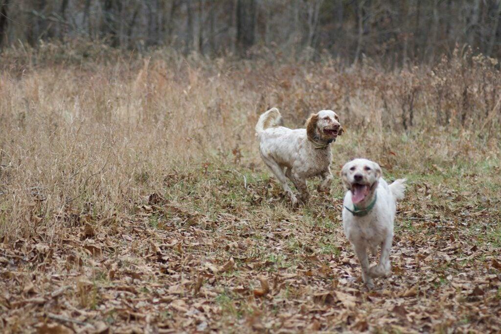 Two seasoned hunting dogs.