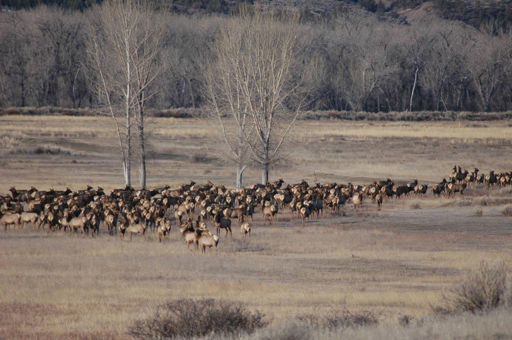 A herd of elk in a field.