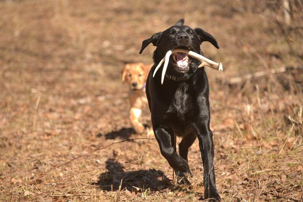 Hunting dog retrieving shed deeer antlers.