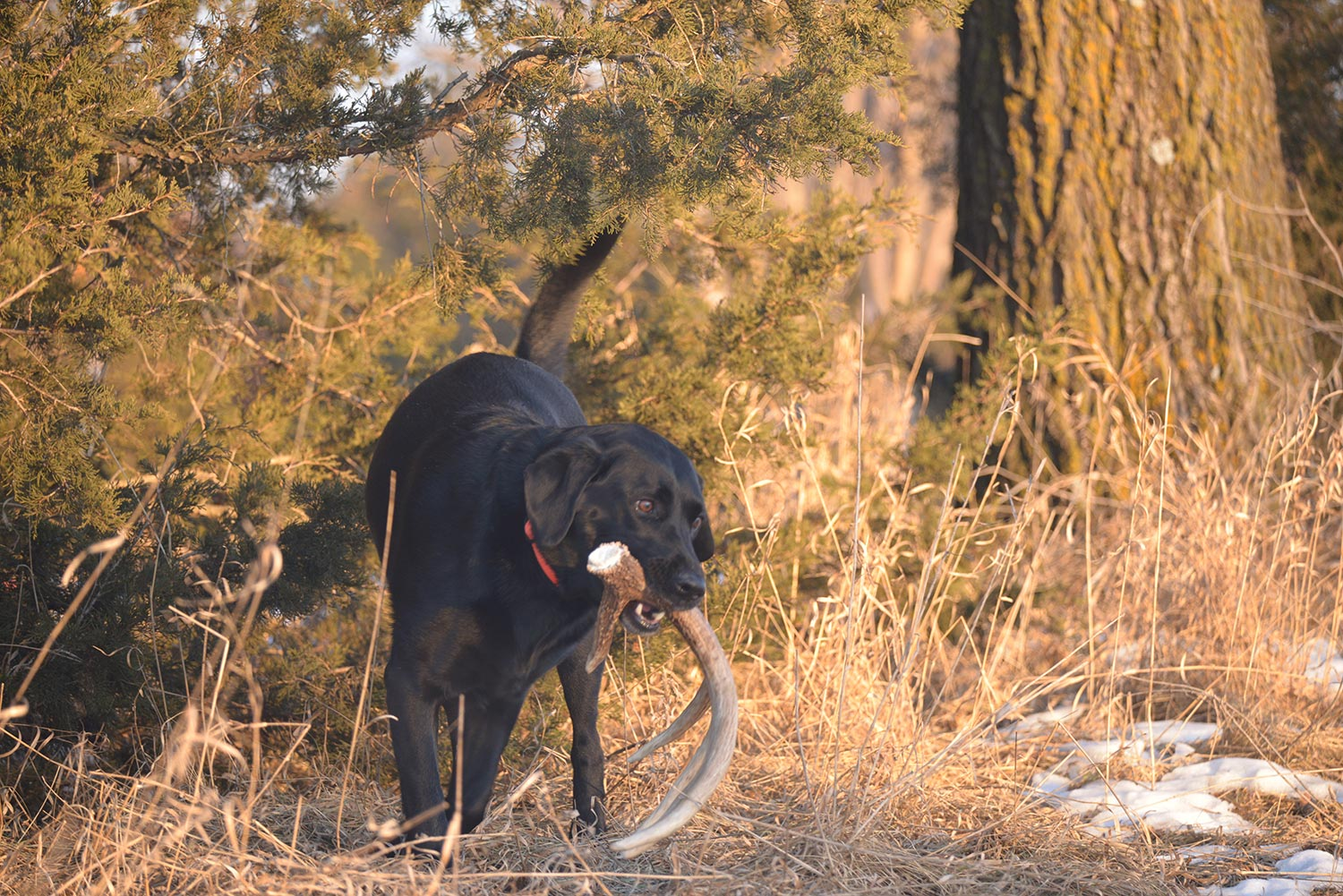 Hunting dog carrying antler in the woods.