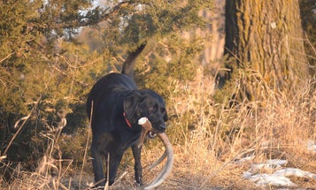 7 Myths About Shed Hunting Dogs