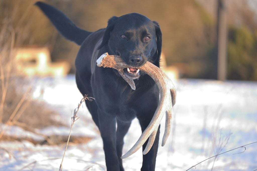 Hunting dog with a shed deer antler
