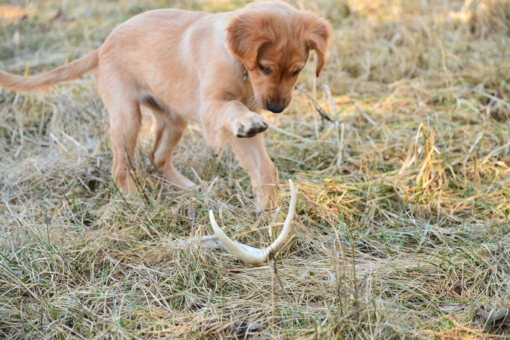 Young hunting dog playing with deer antler.