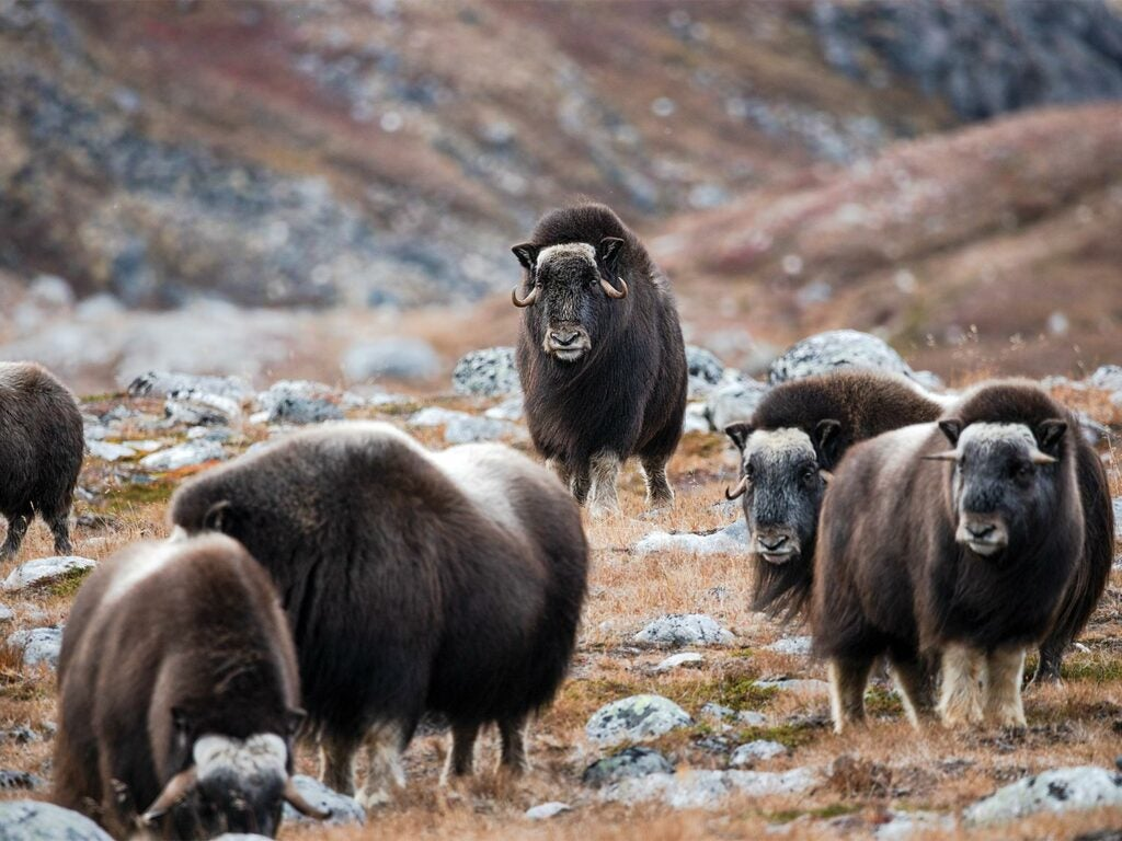 A musk ox bull in a herd of oxen.