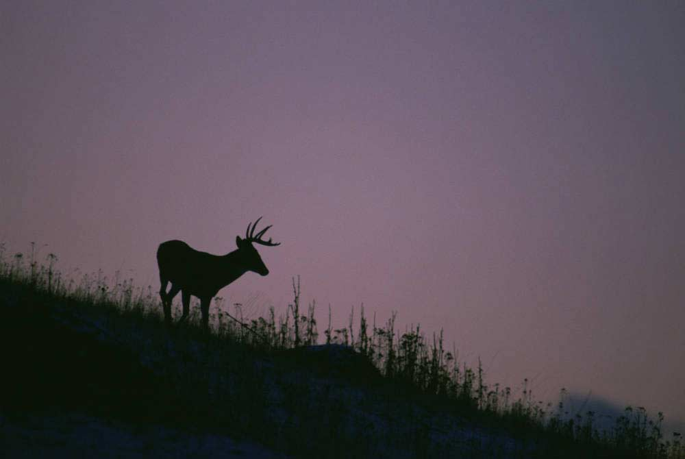 Silhouette of a deer against a night sky.