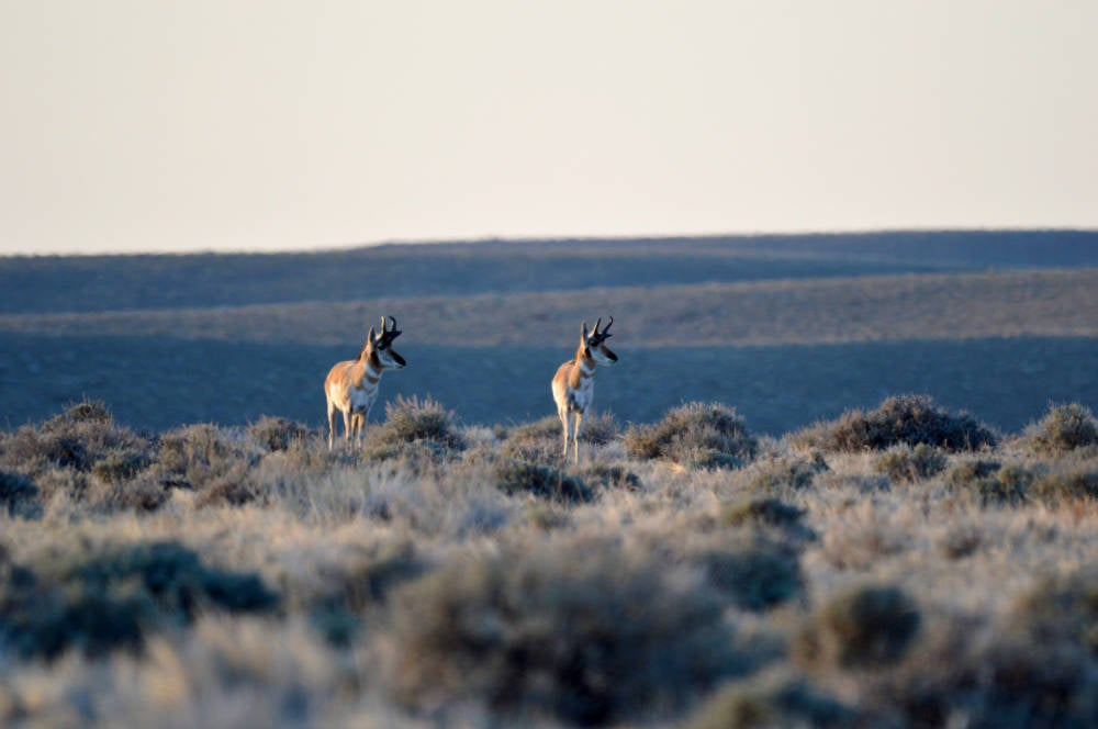 Two pronghorns on a Wyoming field.