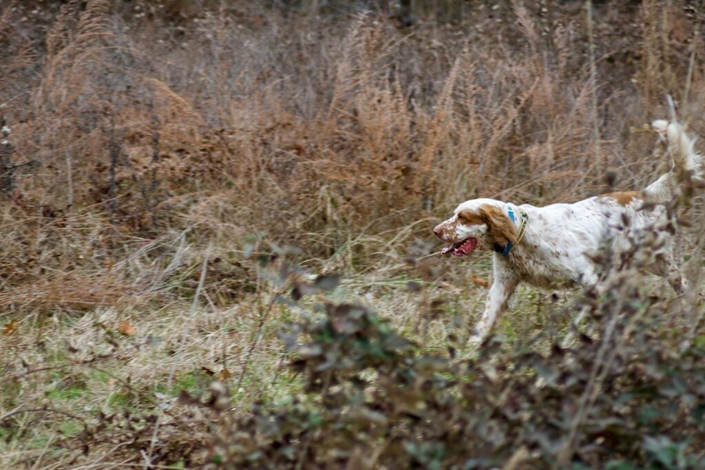 Hunting dog in the woods.