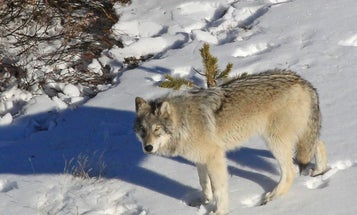Finding a Middle Ground on Wolves and Wolf Management